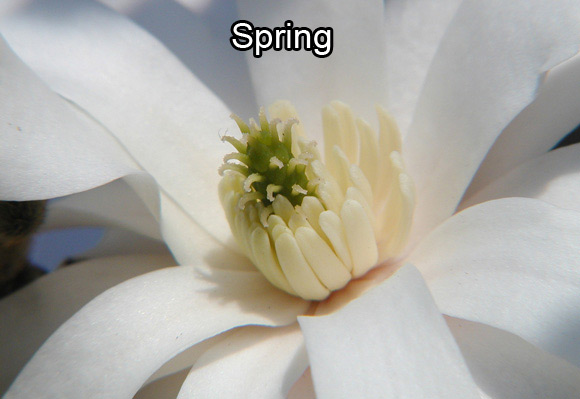 Photo of a star magnolia's flower