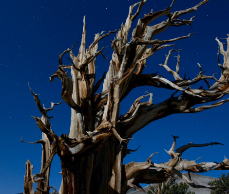 Photo of a Bristlecone pine