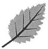 Drawing of a double-toothed leaf