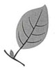 Drawing of a single leaf