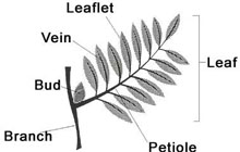 The parts of the leaf