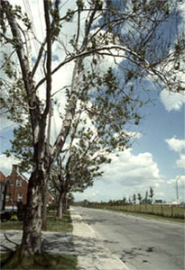 Tree with fewer leaves, some yellowed (observable sign) caused by atmospheric or urban pollution (de-icing salt, carbon dioxyde, dust, etc.) (stress factor)