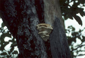 Trees presenting carpophores (observable sign) caused by decay (stress factor)