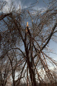 Trees with broken branches (observable sign) caused by caused by ice or lightning (stress factor)