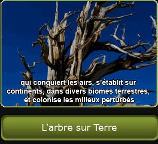 Photo d'un pin de Bristlecone, lien vers la section « L'arbre sur Terre ».
