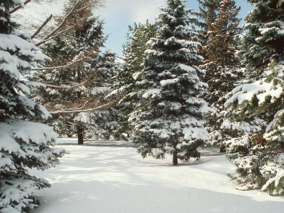 Photo of conifers covered by snow