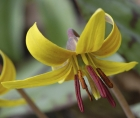 Zoomed-in photo of the flower of a Yellow trout lily (Erythronium americanum)