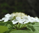 Zoomed-in photo of the flowers of a Hobblebush (Viburnum lantanoides)