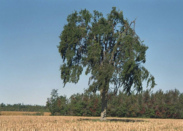 Photo of an isloated American elm (Ulmus americana), in the middle of a field