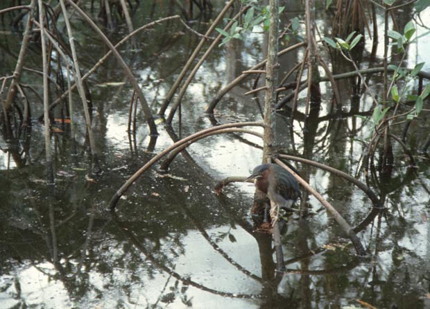 Photo of the stilt roots of a red mangrove (Rhizophora mangle) growing in water