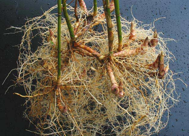 Photo of unearthed roots and rhizomes of a bamboo plant, Fargesia robusta