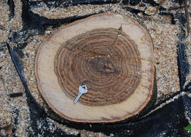Photo of the trunk cutting of a northern red oak (Quercus rubra), with a clearly paler sapwood than its heartwood