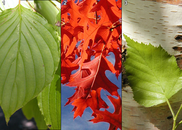 Photomontage of the simple leaf of an alternate-leaved dogwood (Cornus alternifolia), of the lobed leaves of a scarlet oak (Quercus coccinea), and of the toothed leaf of a white birch (Betula papyrifera)
