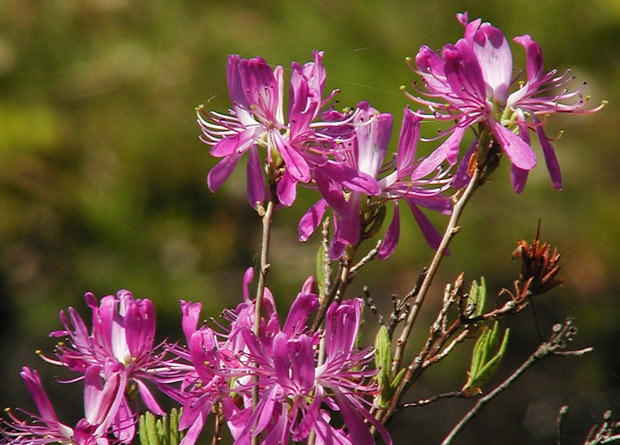 Photo of rhodora flowers (Rhododendron canadense)