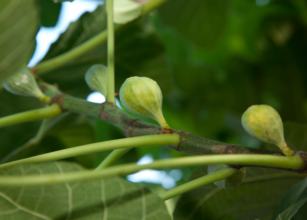 Photo of figs of a common fig (Ficus carica)