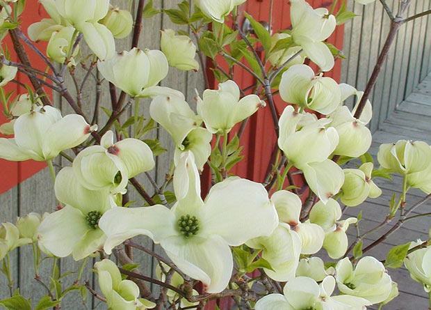 Photo of flowers of an Eastern flowering dogwood (Cornus florida) and of their surrounding large white bracts