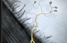 Drawing of a root's surface and of a mycorrhizal fungus