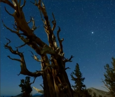 Photo d'un pin de Bristlecone, à l'aube