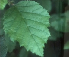 Photo of an alder leaf