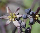 Zoomed-in photos of Caulophyllum thalictroides flowers