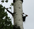 Photo of a Pileated Woodpecker feeding its young