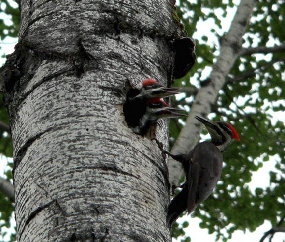 Photo of a Pileated Woodpecker and its young, on a tree's trunk