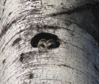 Photo of the head of a Northern Saw-whet Owl, coming out of the cavity of a tree trunk