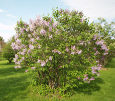 Photo d'un plant de lilas (Syringa sp.)