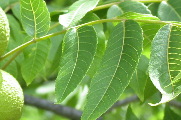Photo of a black walnut�s leaflets
