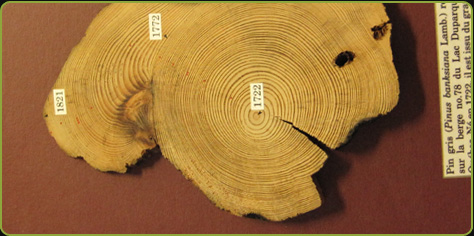 Photo of the trunk cutting of a Jack pine, born in 1722