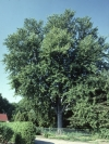 Photo of a silver maple (Acer saccharinum)