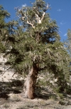 Photo of a Bristlecone pine (Pinus longaeva)